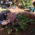 Beet-harvest1